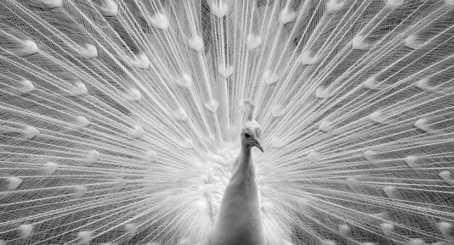 peacock-740x400